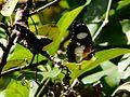 Hypolimnas misippus (Danaid Eggfly) (2991555607).jpg
