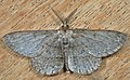Hypomecis punctinalis 78851207.jpg