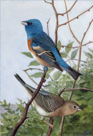 Lazuli bunting - Upper figure, male; lower, female