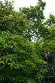 ID 1375 Magnolie in Neudau 001.jpg