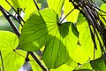 IMG 8225 ลักษณะใบ ย่านดาโอ๊ะ (Golden Leave Bauhinia) Photographed by Peak Hora.jpg
