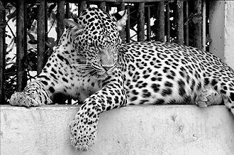 Indian leopard - A captive leopard