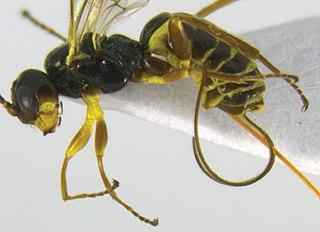 <i>Idiogramma elbakyanae</i> Species of wasp