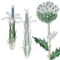 Illustration Echinops sphaerocephalus (Thomé & Müller 1905, vol. 4, plate 589) single flowers and composite flower.png