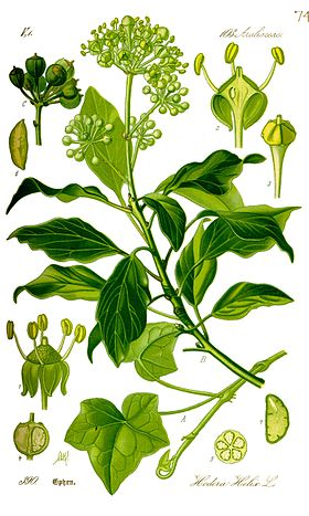 Illustration Hedera helix0 correct.jpg