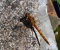Immature Male Common Darter. Sympetrum striolatum - Flickr - gailhampshire.jpg
