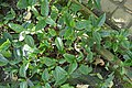 Impatiens hians-Jardin botanique Meise (7).jpg