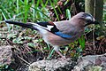 Imposant Bird (Garrulus glandarius, or Eurasian Jay , Vlaamse Gaai) in our garden searching for food - panoramio.jpg