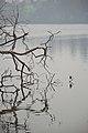 Indian Pond Heron - Santragachi Jheel - Howrah 2017-12-25 5692.JPG