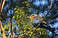 Indian Roller (Coracias benghalensis) (20659227670).jpg