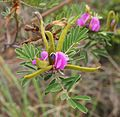 Indigofera pratensis flowers and fruit.jpg