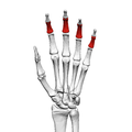 Intermediate phalanges of the hand (left hand) 01 palmar view.png