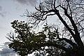 Ippocastano, il ramo è vivo ma l'albero no.jpg
