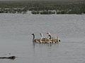 Iraqi geese in Chibaesh marshes.jpg