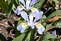 Iris cristata 13zz.jpg