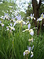 Iris sibirica 02.jpg