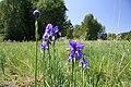 Iris sibirica in natural monument Novoveska draha in 2011 (20).JPG