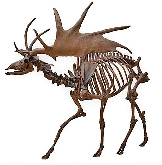 Irish elk - Mounted skeleton