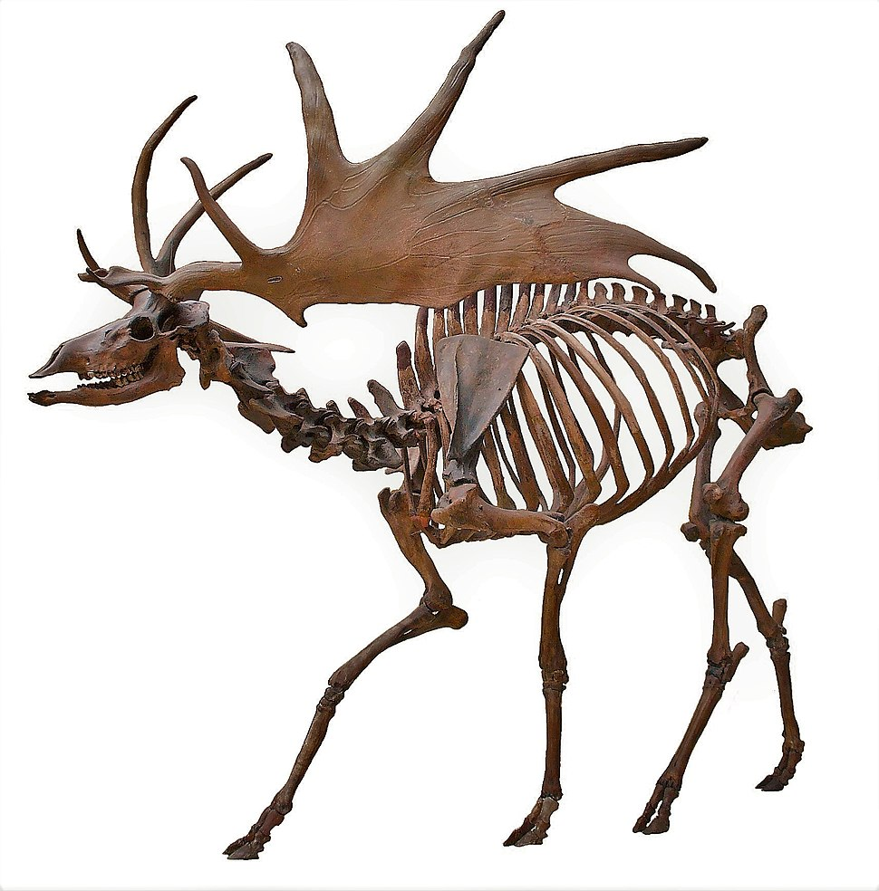 Irish Elk Side (white background)