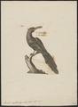 Irrisor erythrorhynchos - 1700-1880 - Print - Iconographia Zoologica - Special Collections University of Amsterdam - UBA01 IZ16100033.tif
