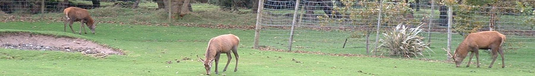 Isle of Arran banner Deer at Lochranza.JPG