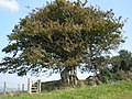 Isolated tree, near Cole's Cross - geograph.org.uk - 970147.jpg