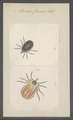 Ixodes - Print - Iconographia Zoologica - Special Collections University of Amsterdam - UBAINV0274 073 02 0008.tif