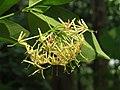 Ixora malabarica flowers at Mayyil (3).jpg