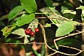 Ixora malabarica ripe fruits-കീഴ്ക്കൊലച്ചെത്തി.jpg