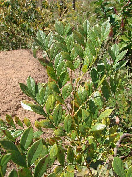 File:Jacaranda macrantha leaves.jpg
