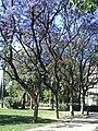Jacarandas en el Parque de los Príncipes 2.JPG