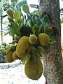 Jackfruit growing together CTVN.JPG