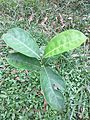 Jackfruit tree leaves 05.jpg