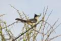 Jacobin Cuckoo (Clamator jacobinus) (16476920318).jpg