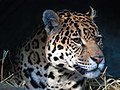 Jaguar at Edinburgh Zoo (by William Warby).jpg