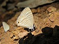 Jamides celeno - Common Cerulean mud puddling at Peravoor (17).jpg