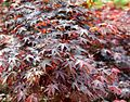 Japanese Maple (5649359878).jpg