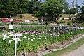 Japanese iris Garden in Okazaki City Higashi Park.JPG