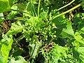 Jatropha curcas at thenmala 2014 (1).jpg