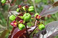Jatropha gossypiifolia - Bellyache Bush - at Beechanahalli 2014 (6).jpg