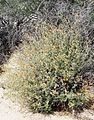 Joshua Tree National Park flowers - Sphaeralcea ambigua - 4.JPG