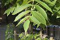 Juglans mandshurica var. sachalinensis 02.jpg