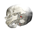 Jugular process of occipital bone02.png