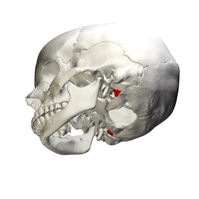 Human skull seen from below. Jugular process shown in red.