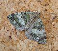 July Highflyer. Hydriomena furcata - Flickr - gailhampshire.jpg
