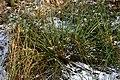 Juncus-effusus-winter.jpg