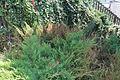 Juniperus 09 05 0315.JPG