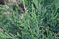 Juniperus chinensis Spearmint 1zz.jpg