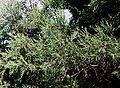 Juniperus excelsa foliage Bulgaria 1.jpg