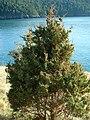 Juniperus maritima Anacortes9.jpg